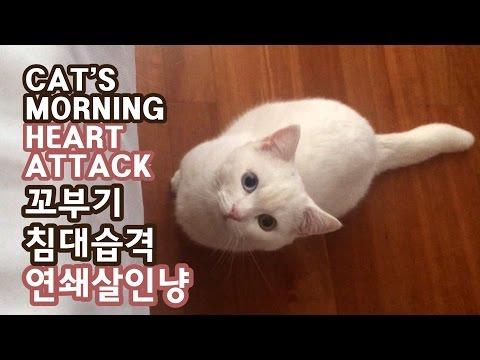 아침에 일어나다 고양이 때문에 죽을 뻔 함 - 꼬부기 6개월 Cat Gato ねこ 短足猫