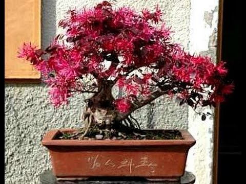 Chinese Fringe Flower Loropetalum Chinensis as Bonsai | Bonsai Nut