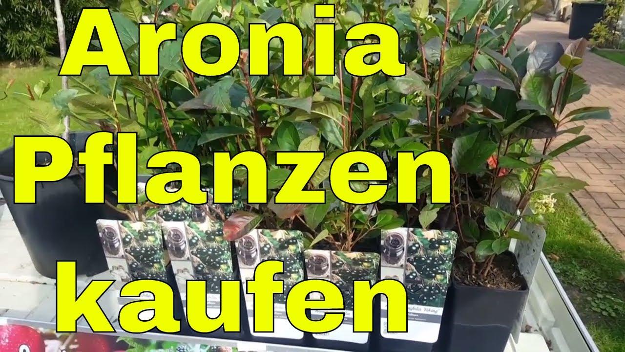 Aronia Pflanzen beste Pflanzzeit im Herbst Jetzt bei uns im Shop
