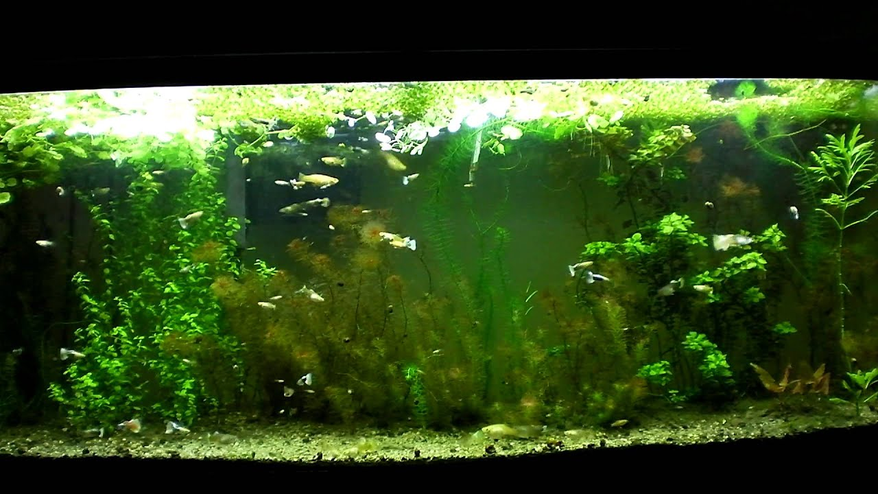 Guppy Planted Aquarium With Kitty Litter Substrate Youtube