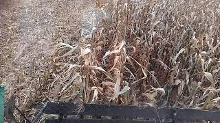 Опять кукуруза Недобор изза засухи