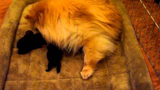 Crazy Pomeranian Mom Kicking And Rolling Over Her Newborn Puppies