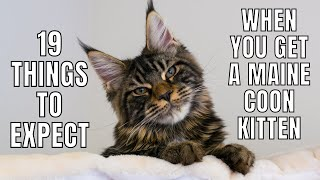 19 Things to Expect When You Get a Maine Coon Kitten
