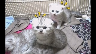 All My Kittens Want To Go Outsite The Cage | Meo Cover Home !