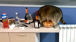 RACCOON SNUCK INTO THE KITCHEN AND STEALS KING PRAWNS