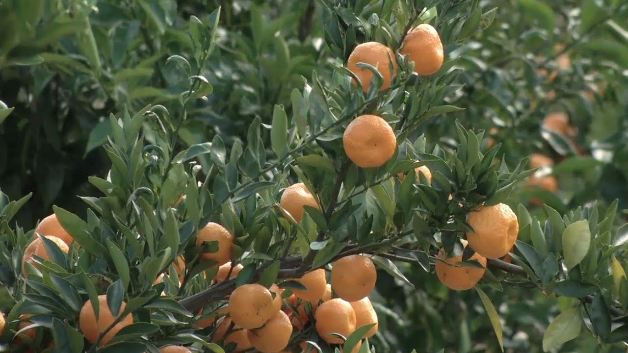 Bulloch County Farmer Leading Georgia S Citrus Movement
