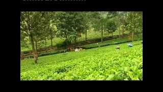 زراعة وصناعة الشاي  Agriculture and tea industry