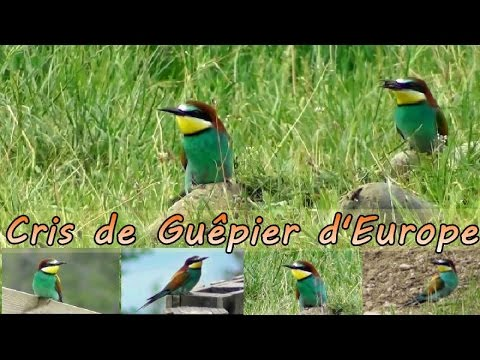 European bee-eaters - Cree and flight