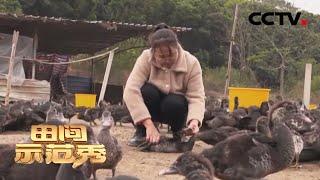 《田间示范秀》 20200403 养番鸭的烦恼|CCTV农业