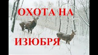ОХОТА НА ИЗЮБРЯ И МЕДВЕЖЬЯ БЕРЛОГА / RAISIN HUNTING AND BEAR DEN