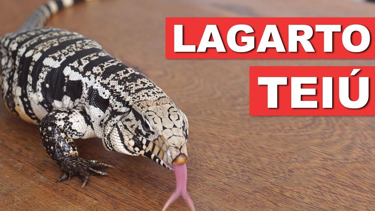 LAGARTO TEIÚ – GUIA DA ESPÉCIE – QUATRO PATAS