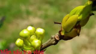 Kỹ thuật trồng cây cherry brasil ở bến tre đạt hiệu quả cao
