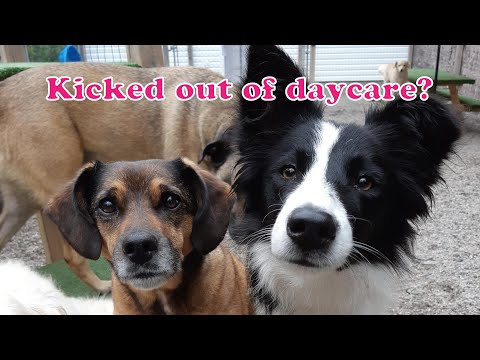 Why Your Dog Got Kicked Out of Daycare: 5 Most Common Reasons