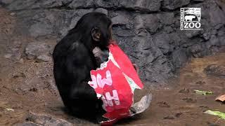 World Bonobo Day (Valentine's Day) - Cincinnati Zoo