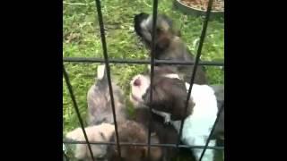 Shihtzu Poodle Yorkie Mix Pups