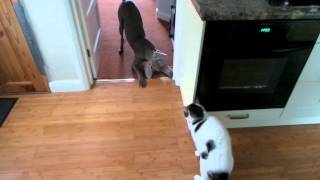 Weim Pup Plays The Buffoon With Uninterested Cat.