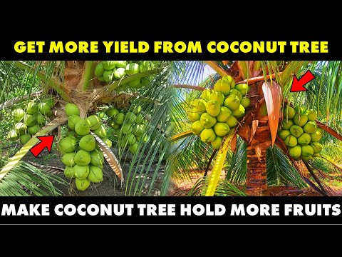 How To Get More Yield From Coconut Tree | How To Make Coconut Hold More Fruit