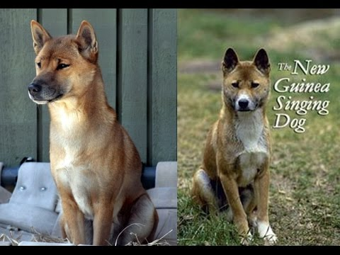 The New Guinea Singing Dog - BBC Radio