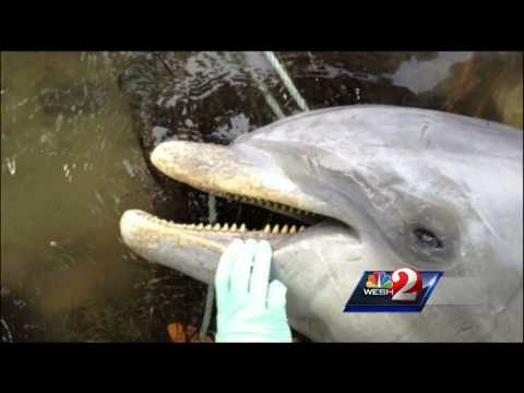 Dolphins dying at alarming rate in Indian River Lagoon