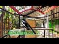Suara Nyaring Kacer Daput Membikin Gacor Kacer Bisu Dan Macet Bunyi  Mp3 - Mp4 Download