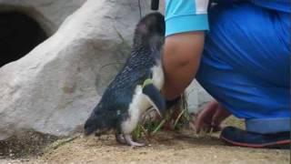 長崎ペンギン水族館のコガタ(フェアリー)ペンギンの求愛行動です。ト...