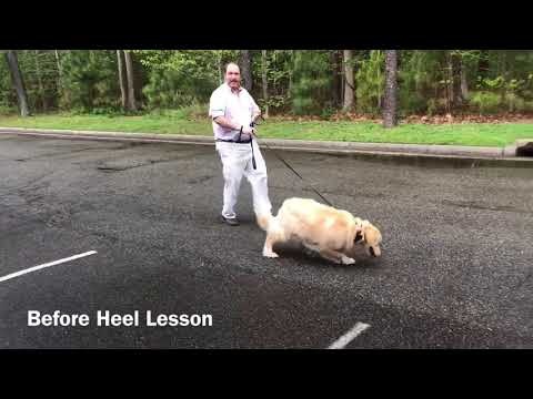"Golden Retriever ""Charlie"" Heel Lesson l Dog Training Hampton Roads"