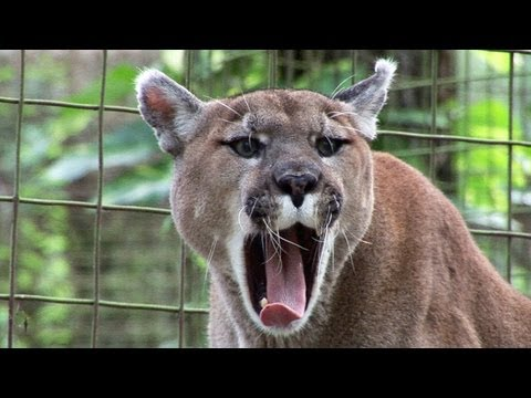 Funny Crazy BIG CAT SOUNDS! - видео онлайн