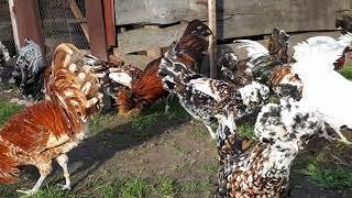Tegoroczne Czubatki Polskie, This year Polish Chickens
