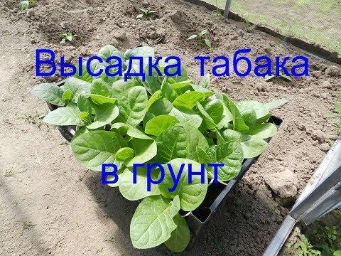Высаживаем табак в грунт ( выращивание табака 2019 ) Часть 8