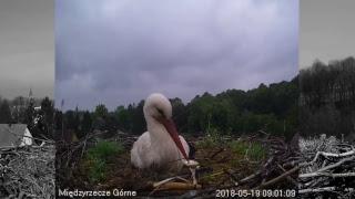 Gniazdo bociana białego w Międzyrzeczu Górnym – transmisja na żywo