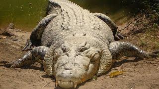 Разборки Крокодилов! Настоящие Монстры! National Geographic