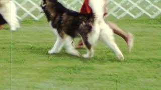1978 Alaskan Malamute Dog show.