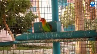 Очаровательные Попугаи Неразлучники  Небольшие умные попугайчики