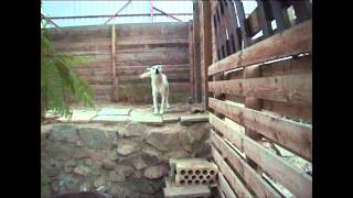 Saudi Canaan dog Digger has a Cat in the tree