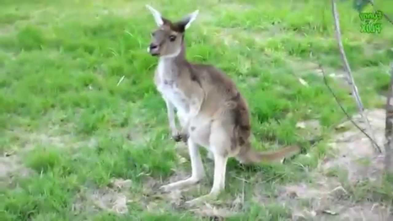 funny kangaroo compilation 2014 new hd san francisco zoo youtube