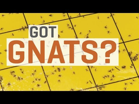 Fungus Gnats - How To Get Rid of Them