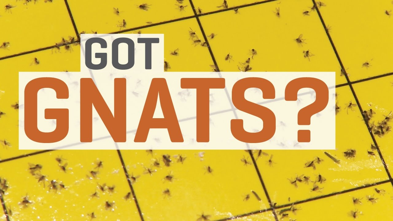 How To Get Rid Of Gnats Best Methods That Work