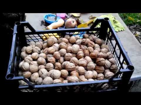 Как хранить грецкие орехи после сбора урожая