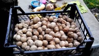 Заготовка и правильное хранение грецкого ореха.