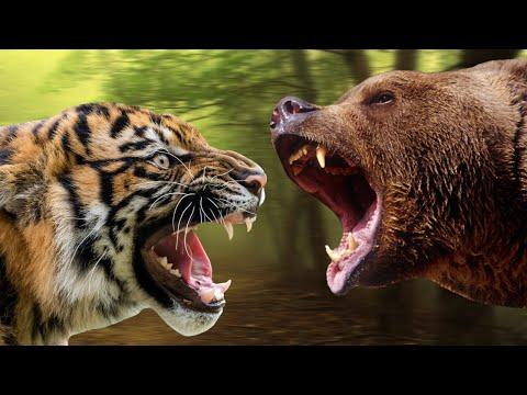 Тигр против медведя. Кто сильнее медведь? Тигр?
