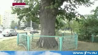 Новости сегодня 2013 - Астрахань «Дуб Петра I» оказался гораздо СТАРШЕ, чем считалось ранее