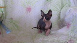 Georges Tulskaya Krasa. канадский сфинкс, лысый кот. Купить котенка.