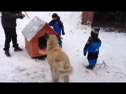 BOZ SHEPHERD DOG WİTH HER FAMILY..