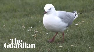 The 'dancing' seagulls under threat in New Zealand