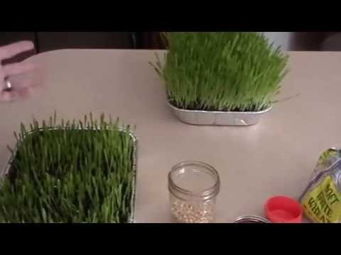 Growing wheatgrass and barleygrass
