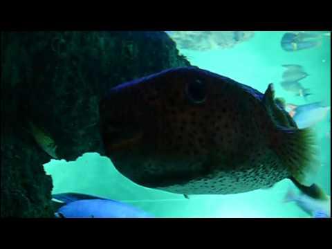 Fanny fish.Porcupinefish.ネズミフグ。