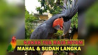 Wujud Burung LANGKA dan MAHAL - Kakatua Raja Hitam (Black Palm Cockatoo)