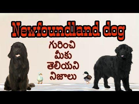 Newfoundland dog facts In Telugu | Taju logics