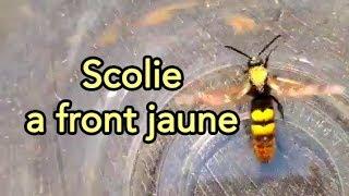 frelon gant ou scolie  front jaunes