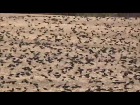 Thousands of Blackbirds in York Charter Township